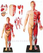 上海启沭全身肌肉人解剖附内脏模型