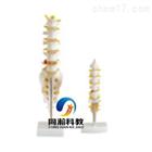 THM-119A小型腰椎带尾椎骨模型|骨骼