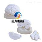 THM-304脑解剖模型