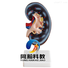 THM-310-1肾解剖模型1件