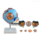 THM-316眼球放大模型 |解剖