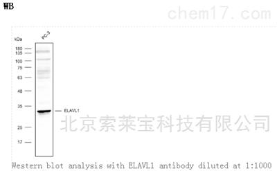 Anti-ELAVL1 Polyclonal Antibody