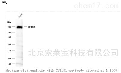 Anti-SETDB1 Polyclonal Antibody