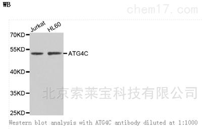 Anti-ATG4C Polyclonal Antibody