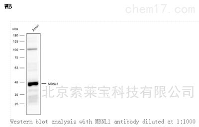 Anti-MBNL1 Polyclonal Antibody