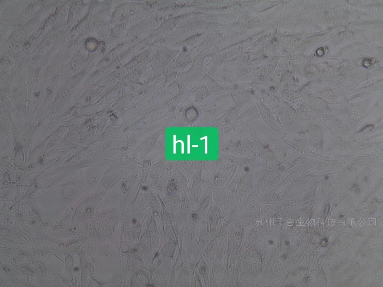小鼠心肌细胞HL-1
