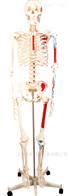 KAC/A11102/2人体骨骼半边肌肉着色模型(180cm)