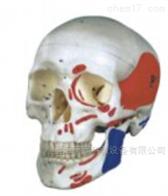 KAC/104B自然大头颅骨肌肉着色模型