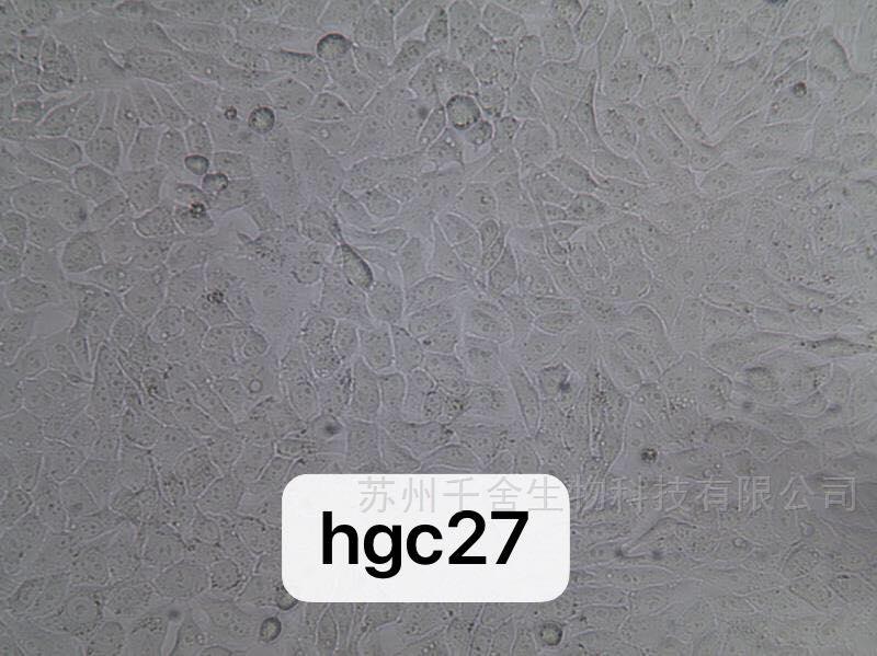 人胃癌细胞(未分化)HGC27(通过STR鉴定)