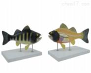 鱼解剖模型